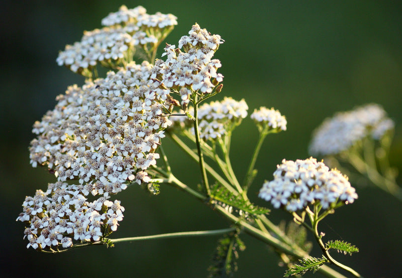 Yarrow - Herbal Wisdom (Not) Wednesday
