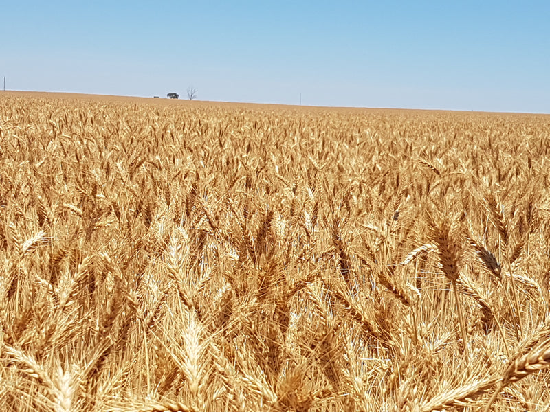 Grain Imports on the cards as Drought Drives Up Prices and Crop Forecasts Slashed