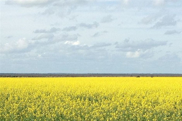 Global canola prices expected to fall as supplies of oilseeds rise