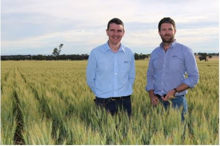 New early-season wheat variety released