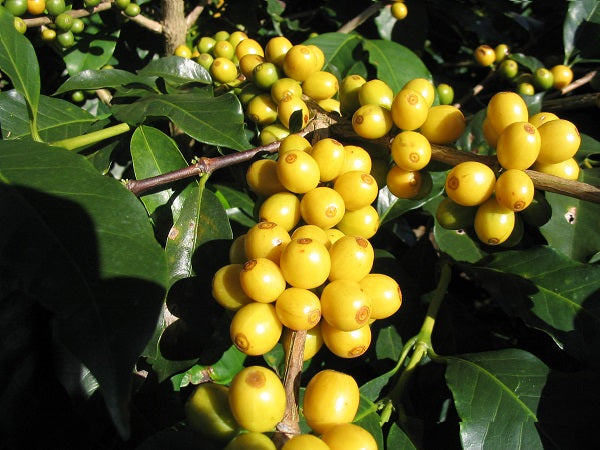 Brazil Yellow Bourbon Coffee Beans