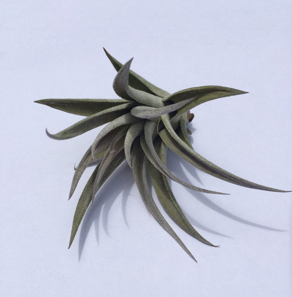 Air Plant Harrisii