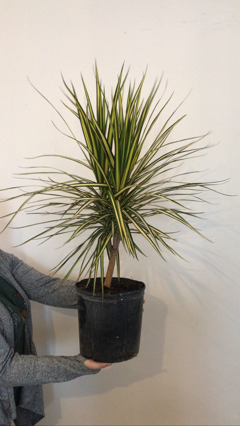 "10"" Dracaena Ray of Sunshine"