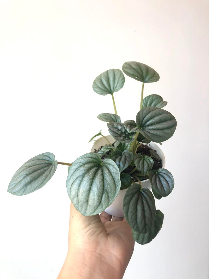 "4"" Peperomia Frost"