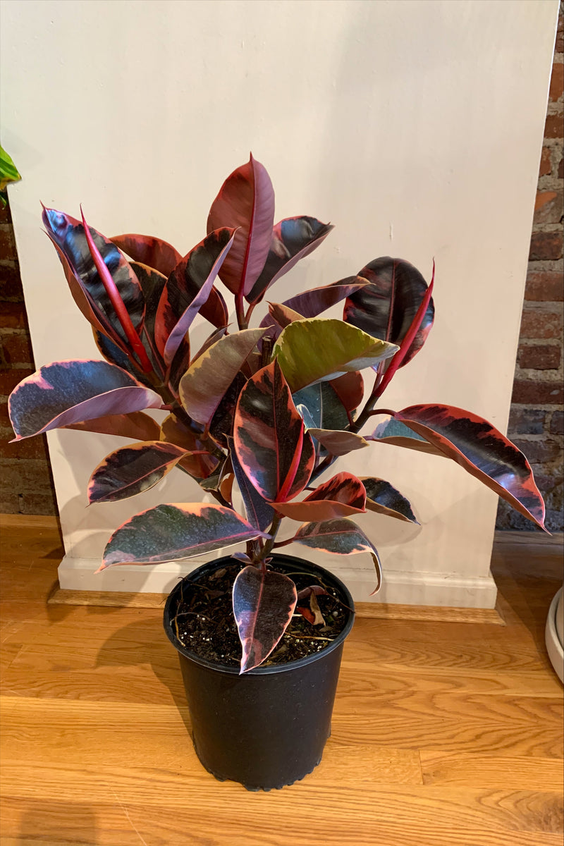 "10"" Ficus Ruby Rubber Tree"