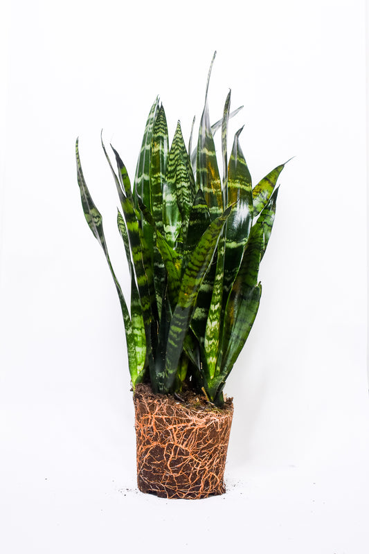 Black Coral Sansevieria - Medium