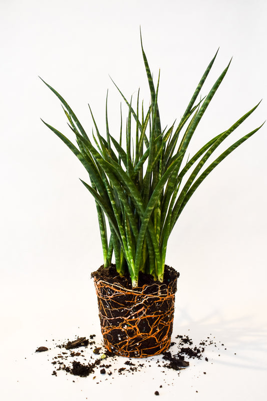 "4"" Sansevieria Fernwood Mikado - Curbside Lexington"