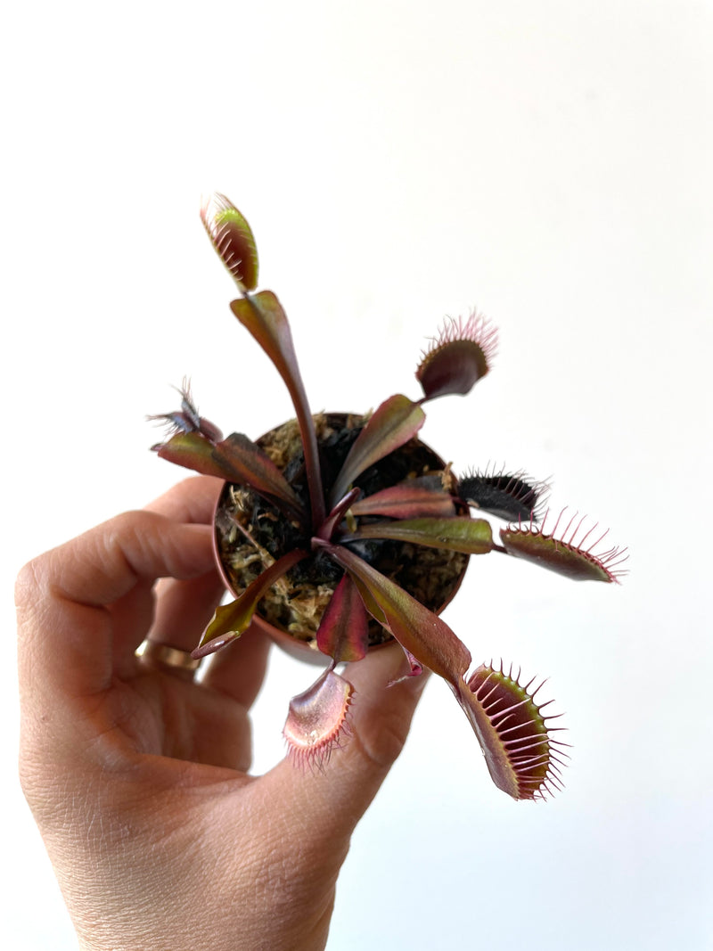 "2"" Red Venus Fly Trap"