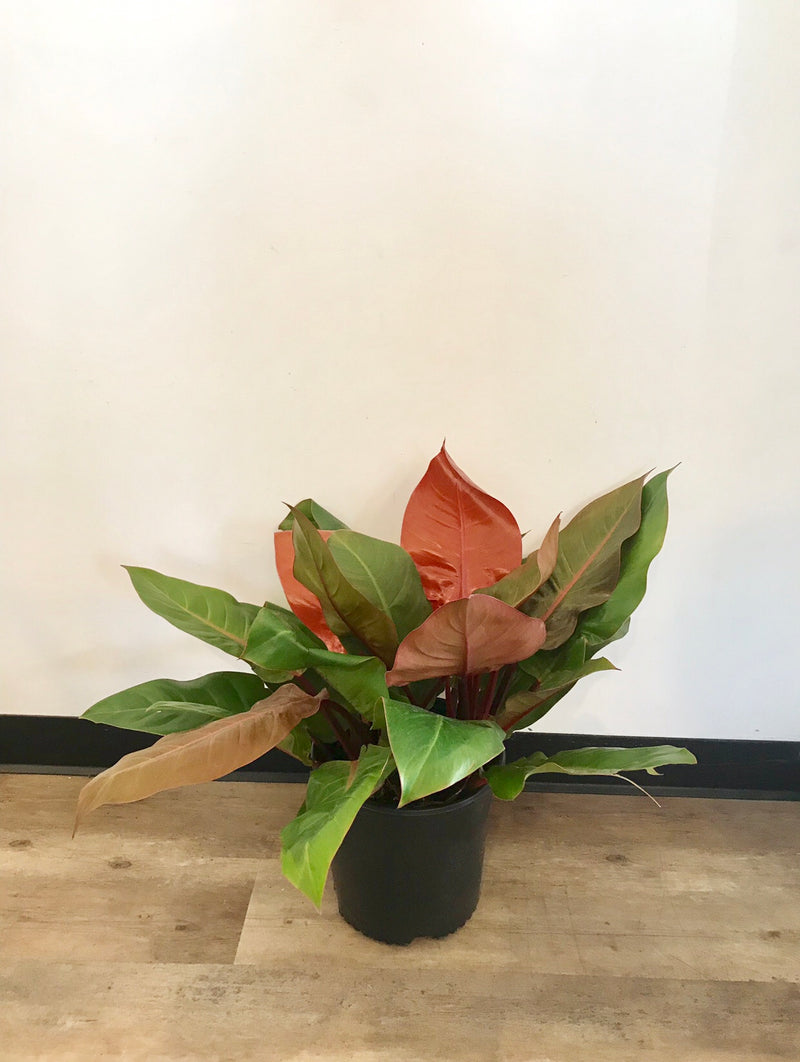 "10"" Philodendron Prince of Orange"