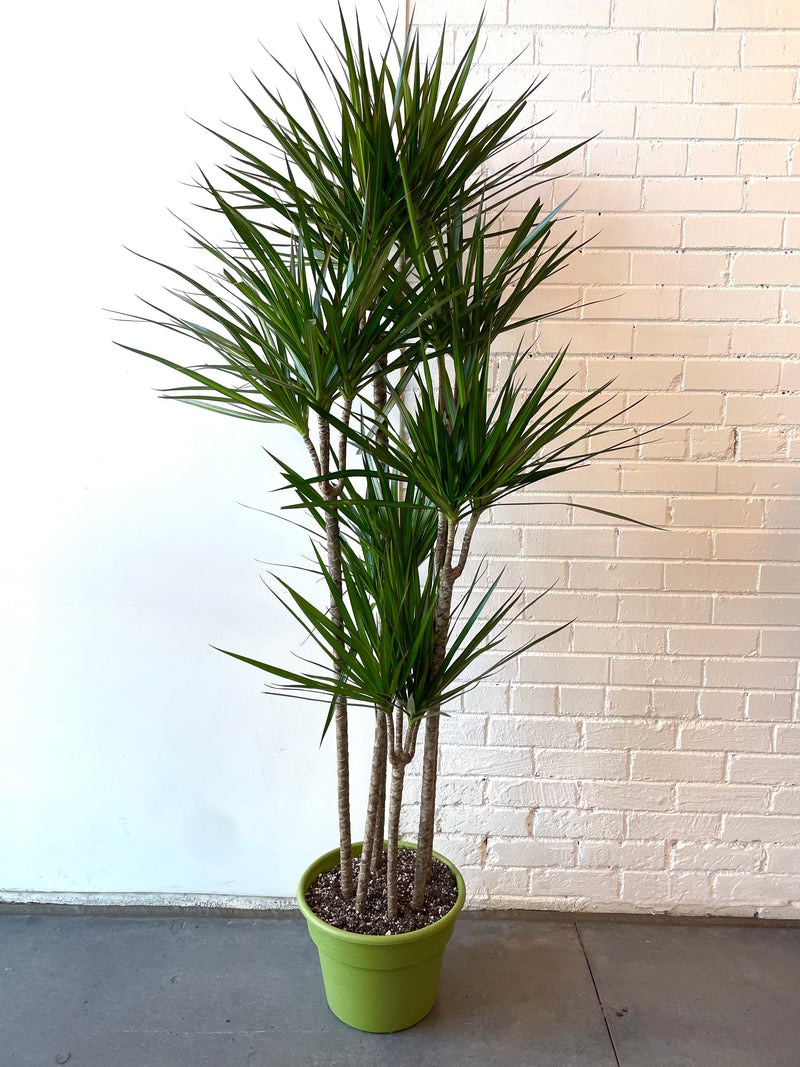"12"" Dracaena Marginata Staggered"