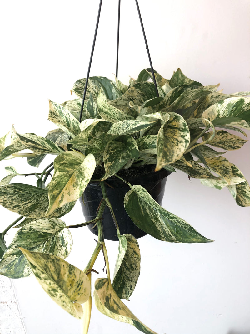 "8"" Pothos Marbled Queen"