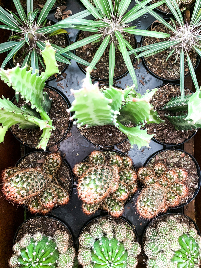 "2""-8"" Cacti Assortment"