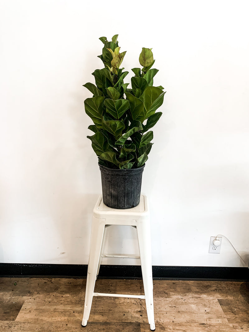 "10"" Fiddle Leaf Fig Little Bush"