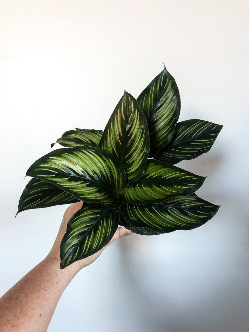 "4"" Calathea Beauty Star"
