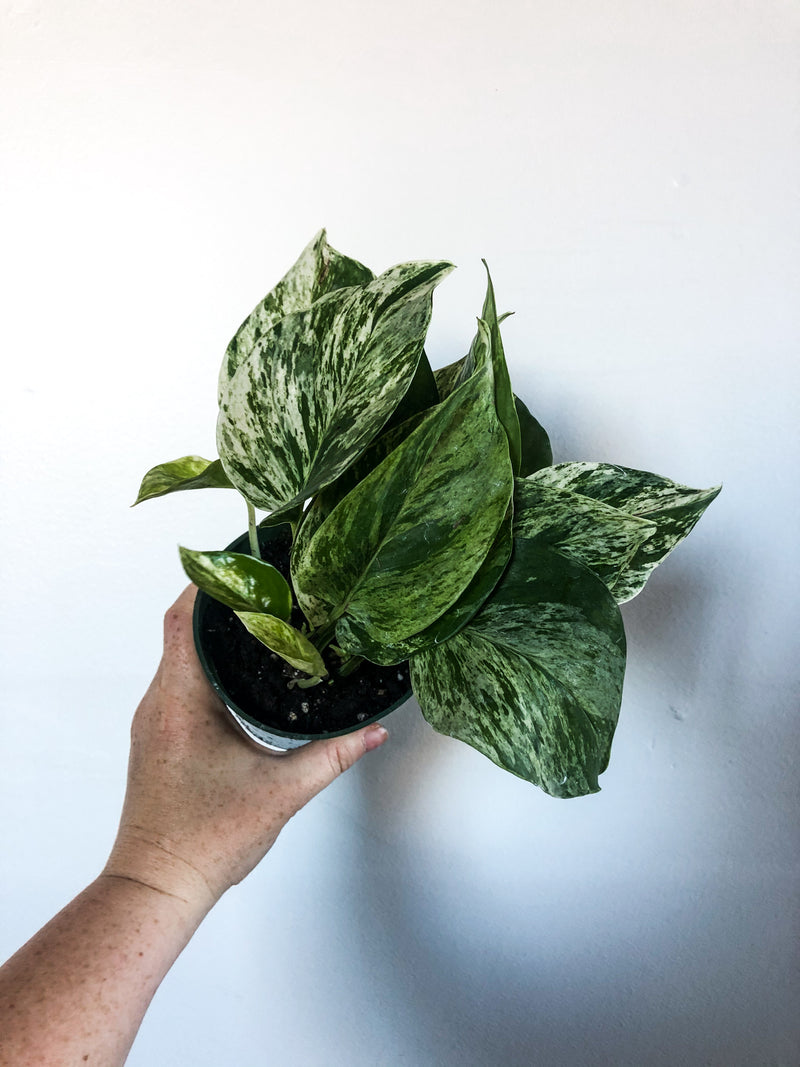 "4"" Pothos Marbled Queen"