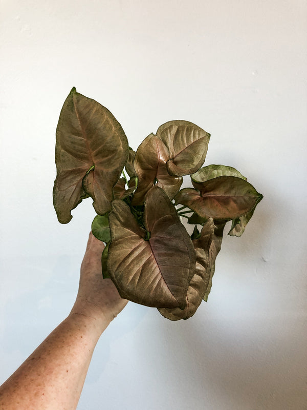 "4""  Syngonium Allusion (Blush Arrowhead)"