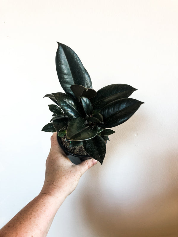 "4"" Ficus Burgundy (Rubber Tree)"