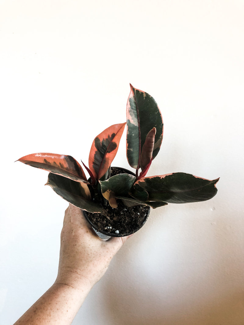 "4"" Ficus Ruby Rubber Tree"