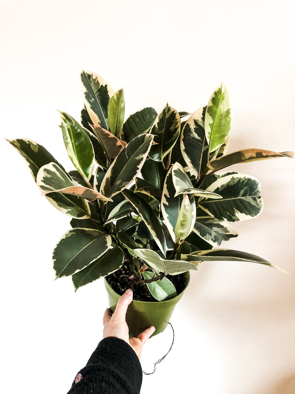 "6"" Ficus Tineke (Rubber Tree)"