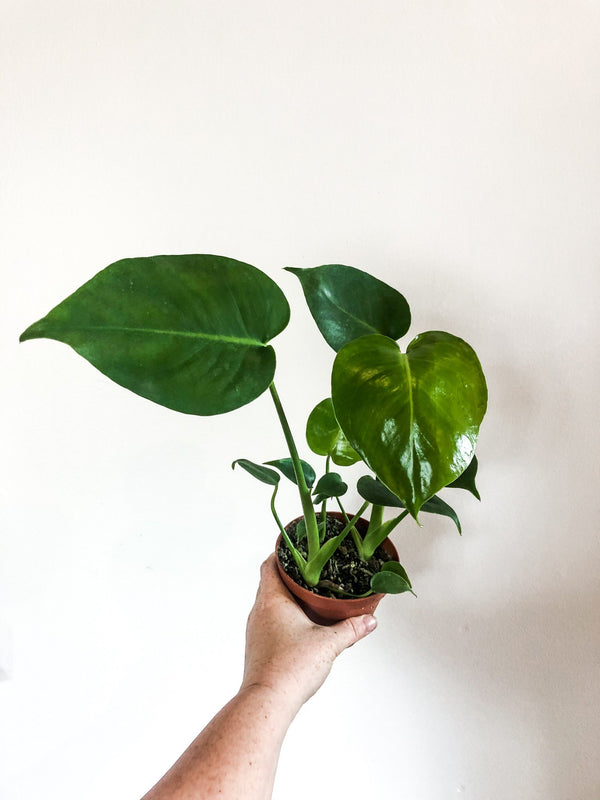 "4"" Monstera - Curbside Lexington"