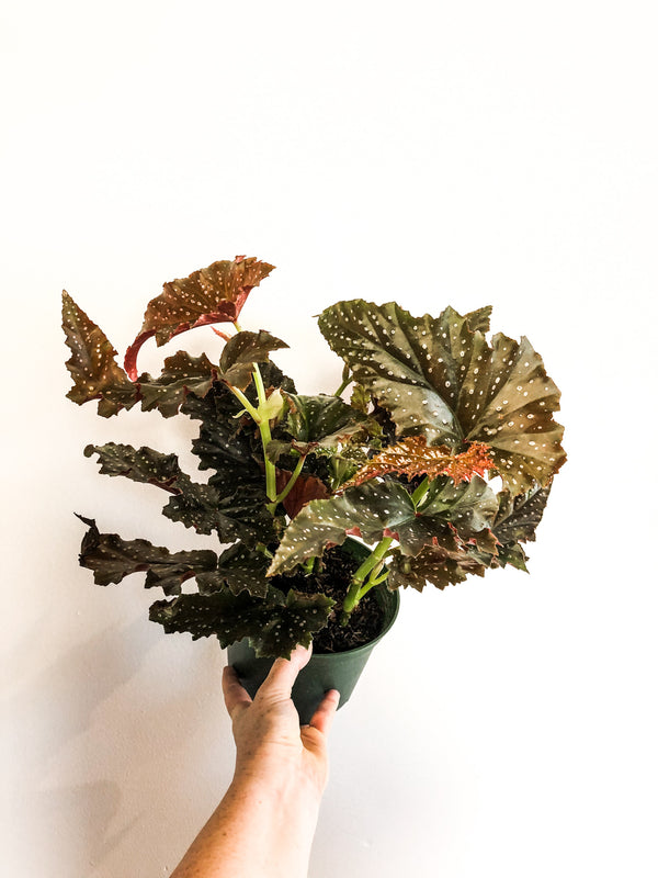 "6"" Angel Wing Begonia - Denver Curbside"