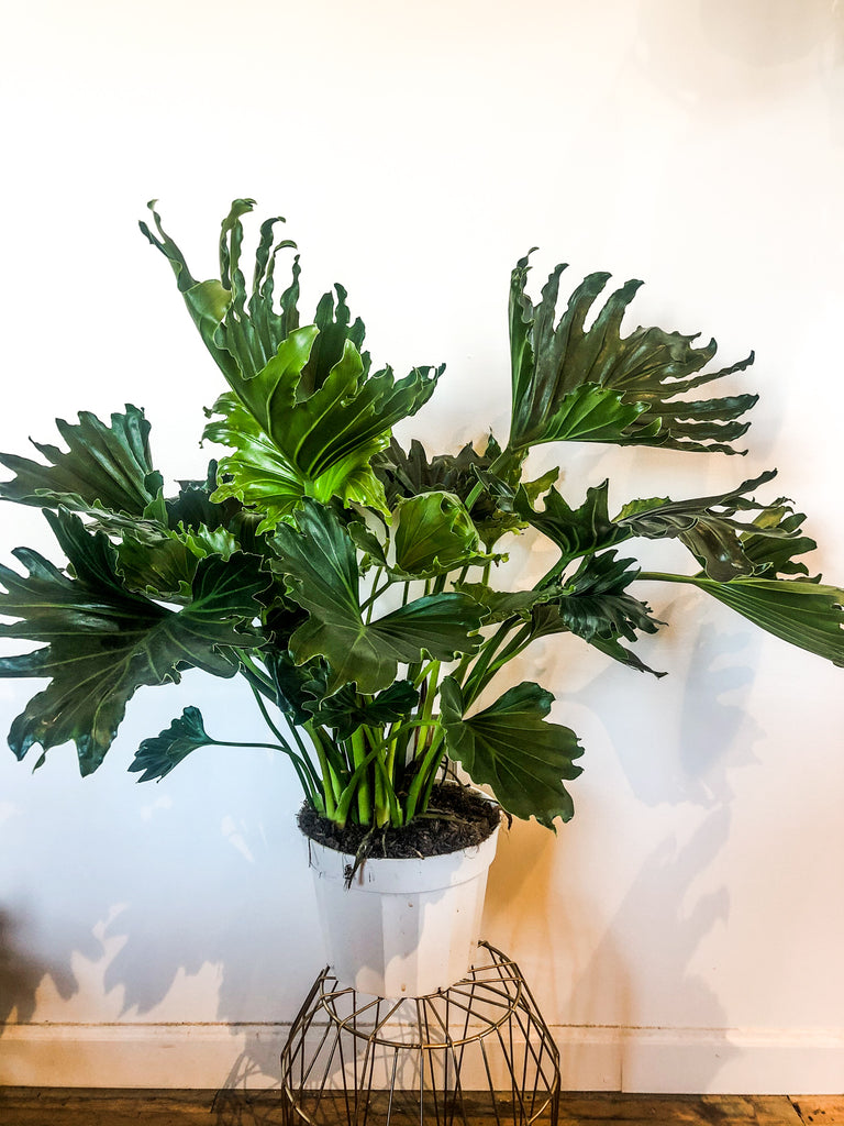 "10"" Philodendron Lickity Split"