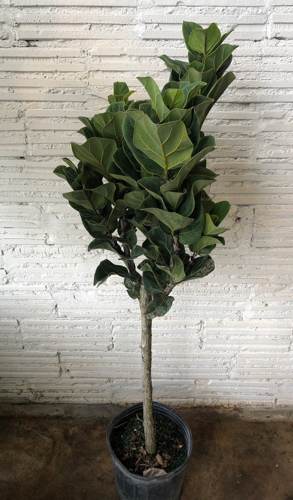 "10"" Fiddle Leaf Fig - Curbside Lexington"