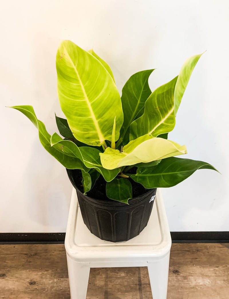 "10"" Philodendron Moonlight"