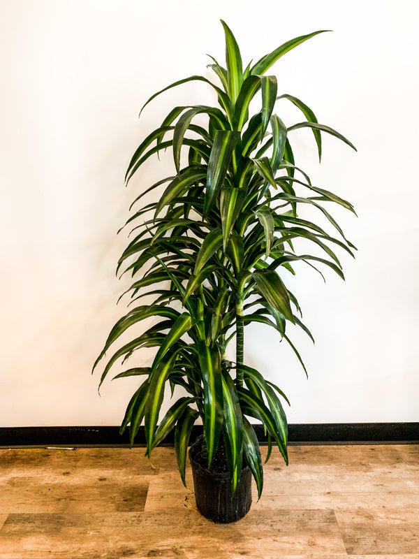 "10"" Dracaena Hawaiian Sunshine"