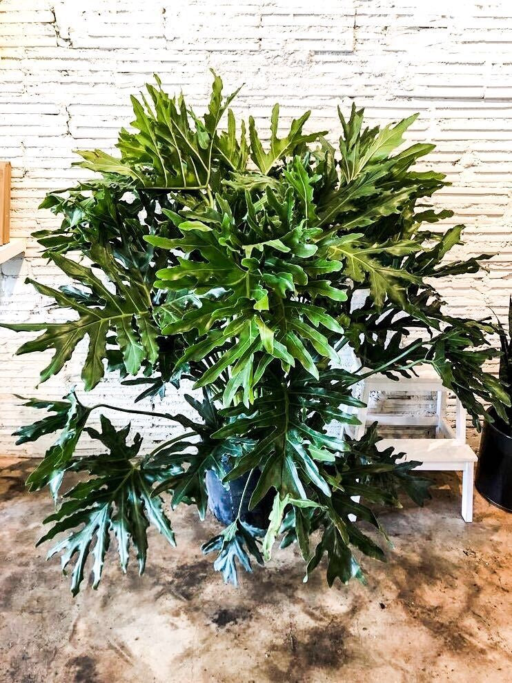 "14"" Philodendron Hope"