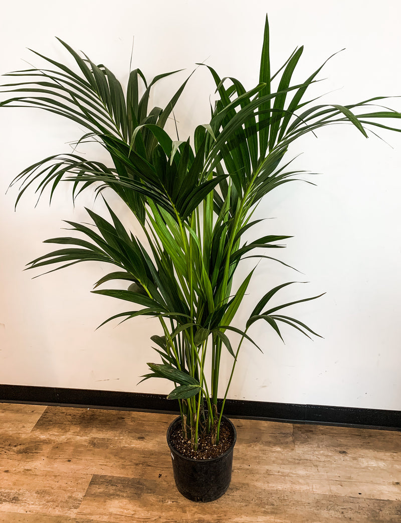 "10"" Palm Kentia"