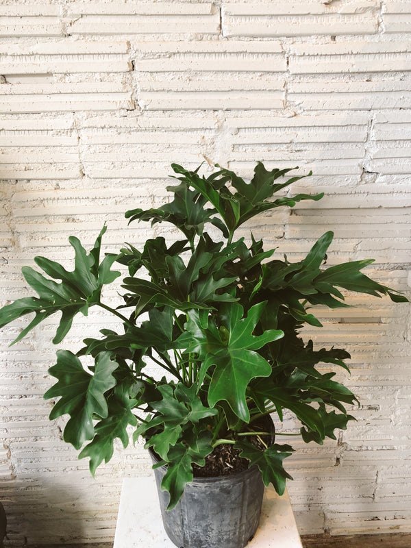 "10"" Philodendron Hope"