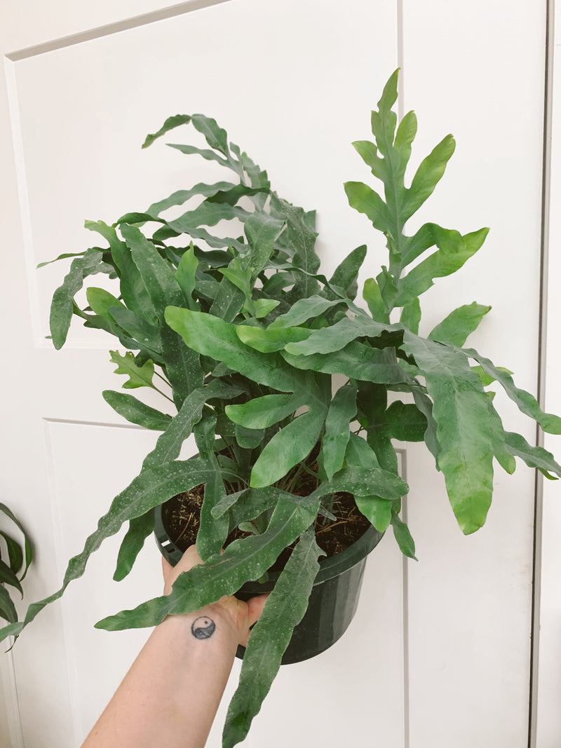 "10"" Blue Star Fern"