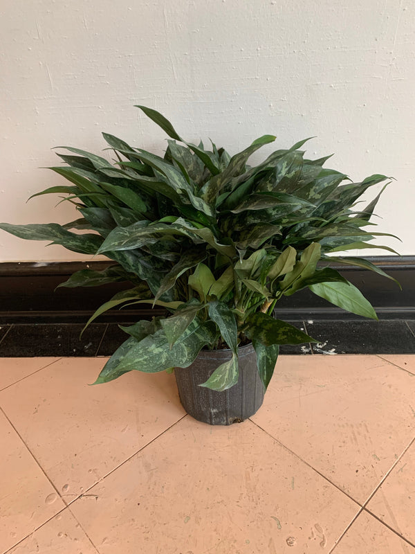 "10"" Aglaonema Emerald Beauty"