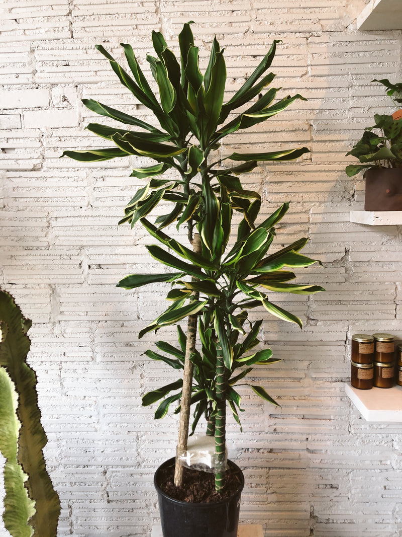 "10"" Dracaena Moonlight Cane"