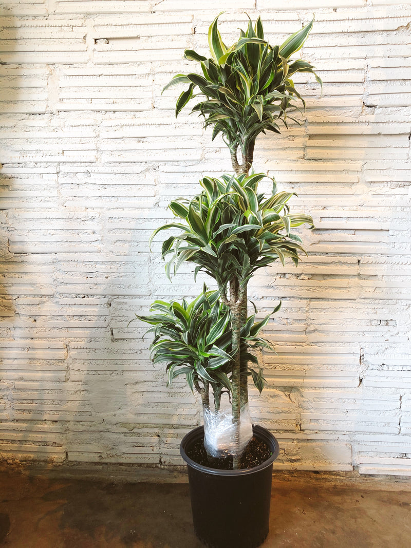 "10"" Dracaena Lemon Surprise"