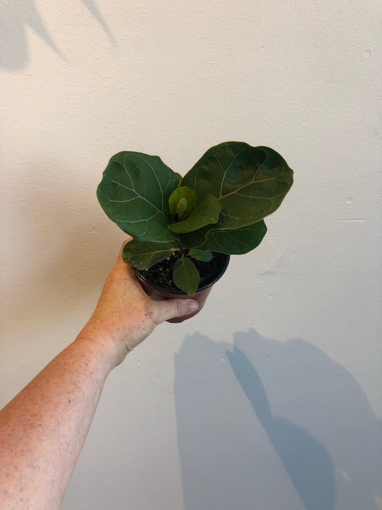 "4"" Fiddle Leaf Fig Sunshine"