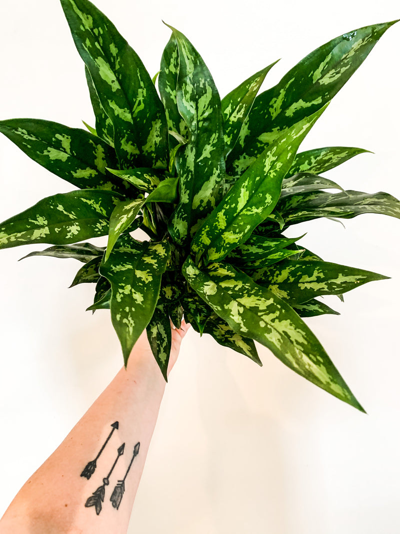 "6"" Aglaonema Emerald Beauty"