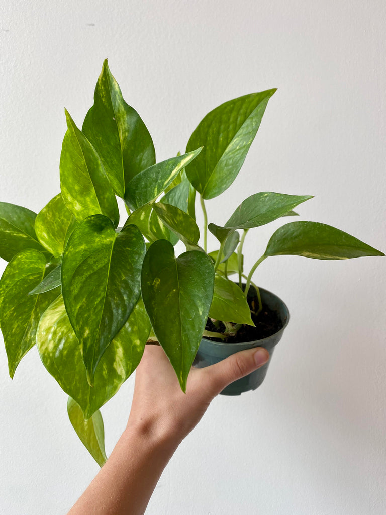 "4"" Golden Pothos - Denver Curbside"
