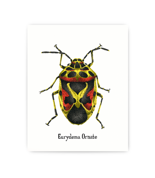 art print featuring scientific illustration of Ornate Cabbage bug
