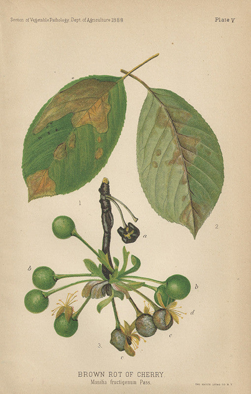 Brown Rot of Cherry (1888)