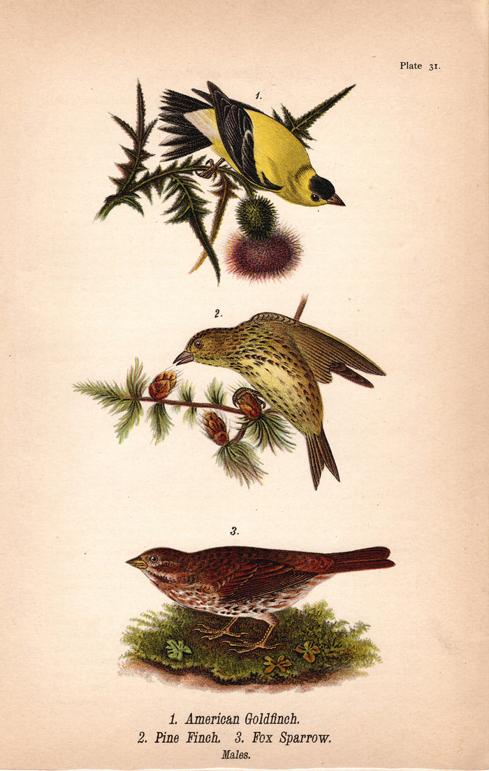 Golfinch, Pine Finch, Fox Sparrow (1890)