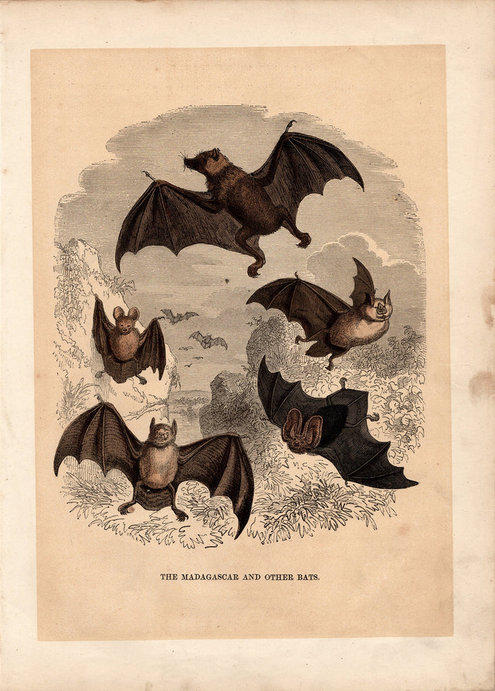The Madagascar and Other Bats (1880)