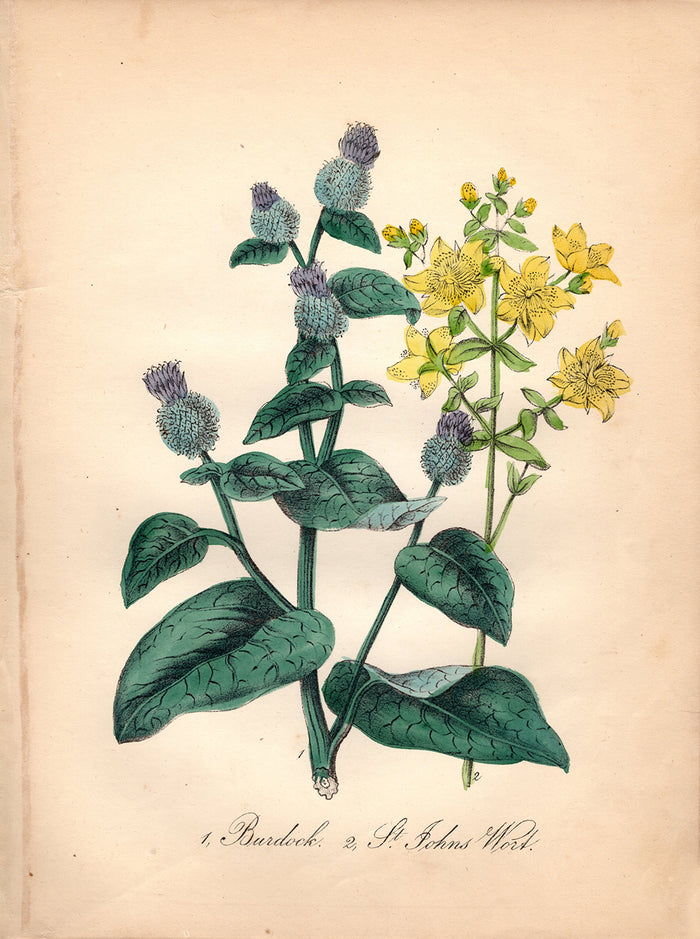 Burdock and St. Johns Wort (1850)
