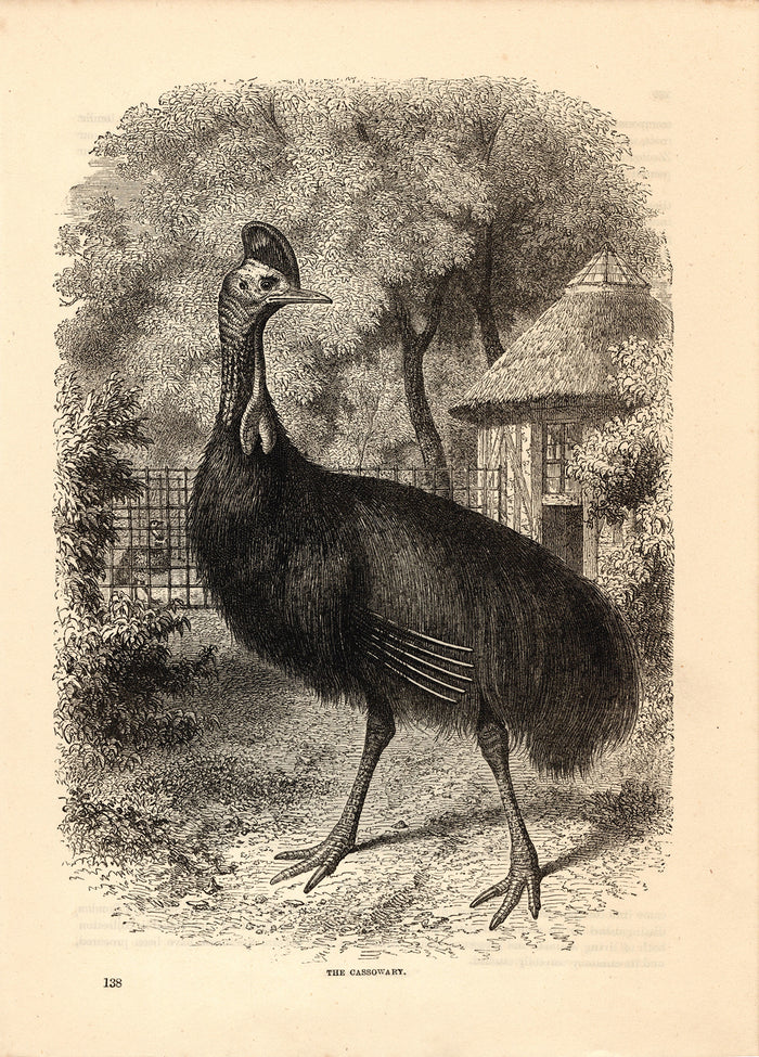 The Cassowary (1880)