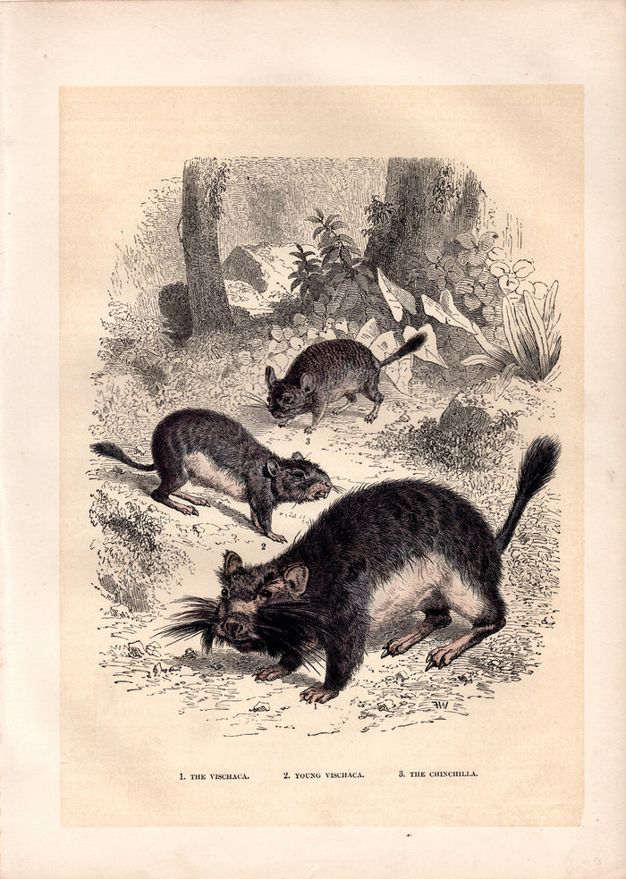 Vischaca and Chinchilla (1880)