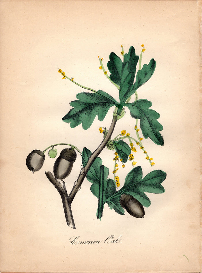 Common Oak (1850)