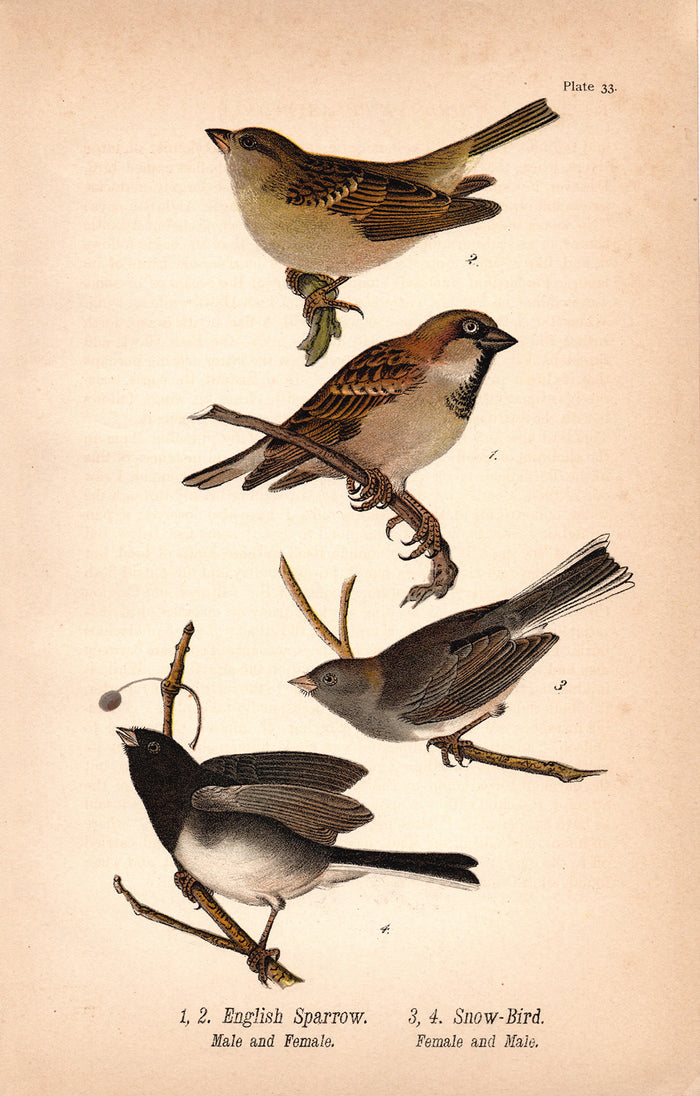 English Sparrow, Snow Bird (1890)