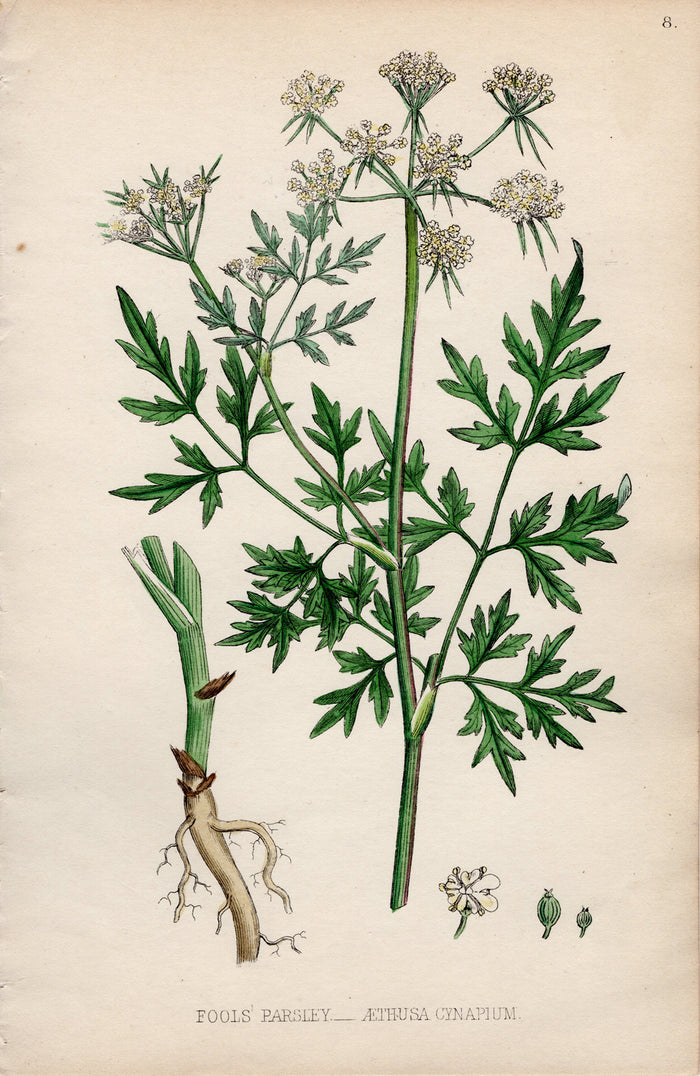Fools Parsley – 1861