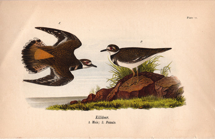 Killdeer (1890)